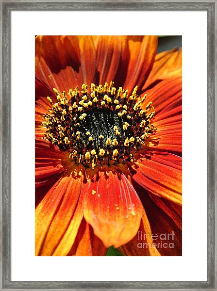 Blazing Sunflower Framed Print
