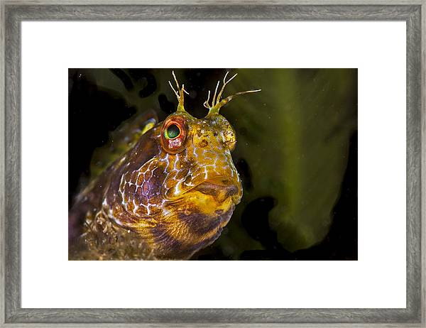 Blenny In Deep Thought Framed Print