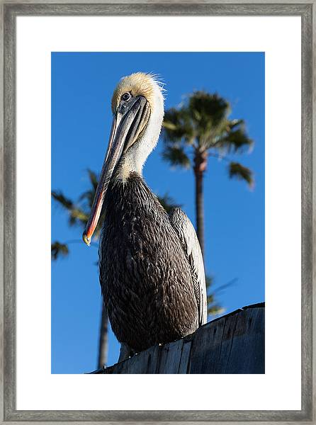 Blond Pelican Framed Print