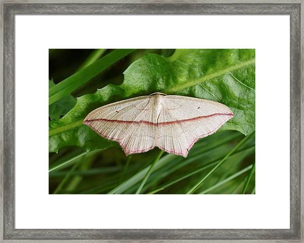 Blood Vein Moth Framed Print