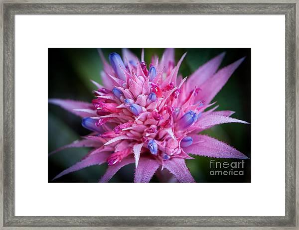 Blooming Bromeliad Framed Print