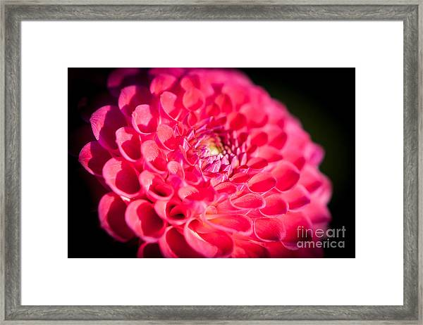 Blooming Red Flower Framed Print
