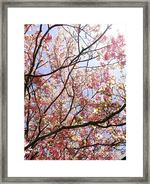 Blossoming Pink Framed Print