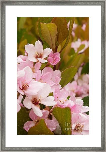 Blossoms Of The Rain Framed Print