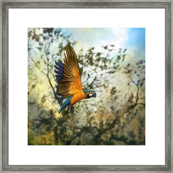 Blue & Yellow Macaw Framed Print