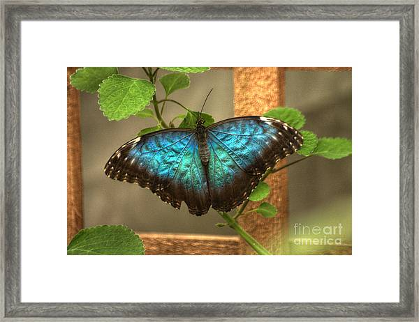 Blue And Black Butterfly Framed Print