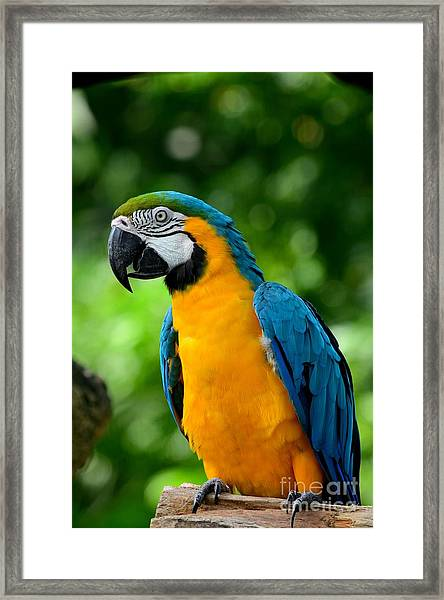 Blue And Yellow Gold Macaw Parrot Framed Print