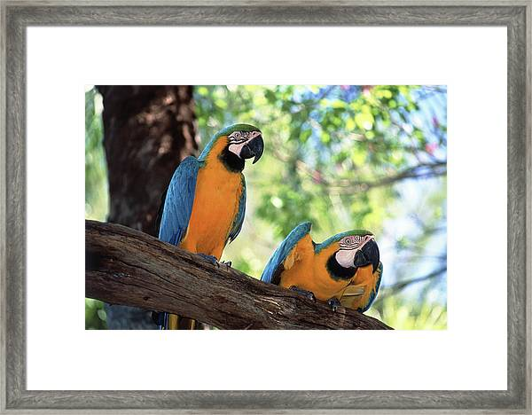 Blue And Yellow Macaws Framed Print
