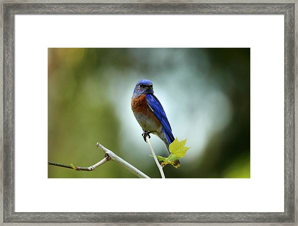 Blue Bird Halo Framed Print by Darrin Aldridge
