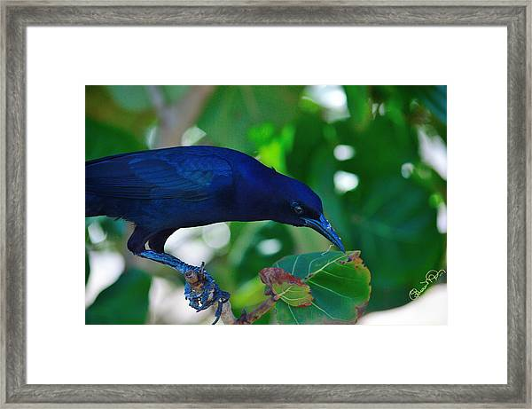Blue-black Black Bird Framed Print