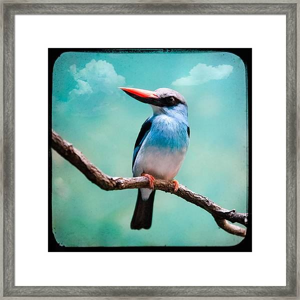 Blue Breasted Kingfisher Framed Print