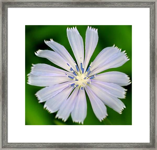 Blue Chicory Framed Print
