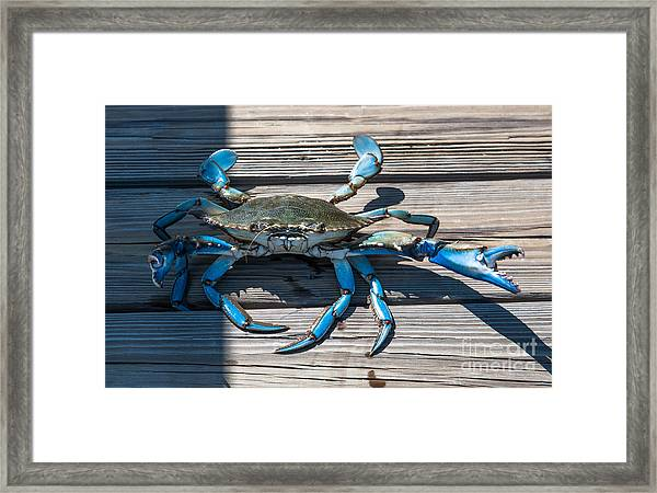 Blue Crab Pincher Framed Print