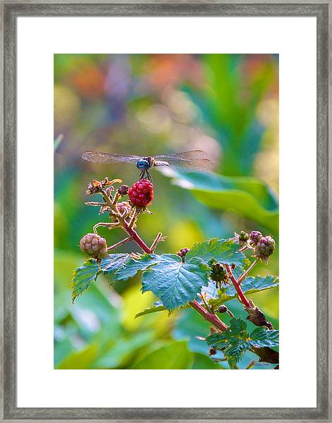 Blue Dragonfly On Berry Framed Print
