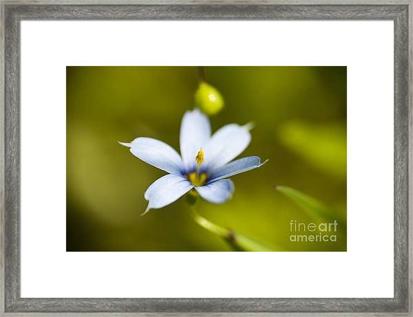 Blue-eyed Grass Flower Framed Print