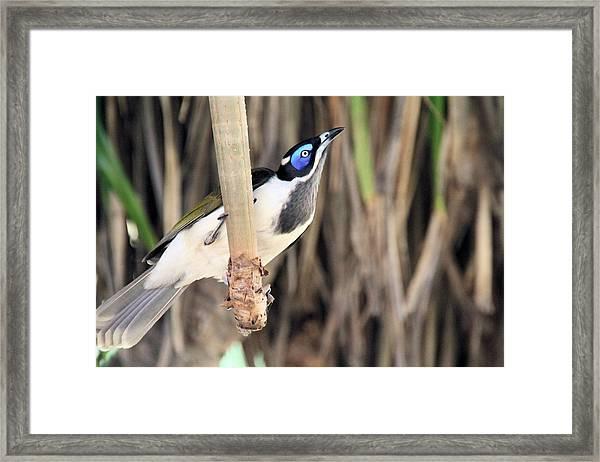 Blue Faced Honeyeater Framed Print