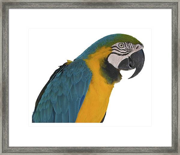Blue Gold Macaw Framed Print