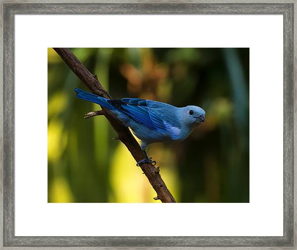 Blue Grey Tanager Framed Print