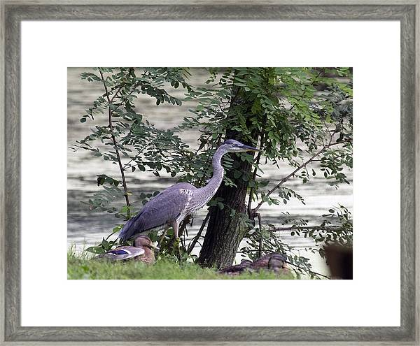 Blue Heron And Duck Framed Print