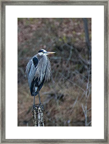 Blue Heron On Stump Framed Print by Bill Perry