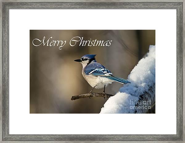 Blue Jay Christmas Card 2 Framed Print