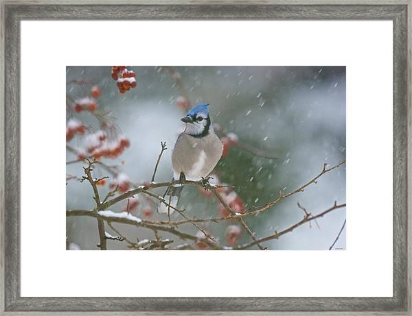 Blue Jay In Snow Framed Print