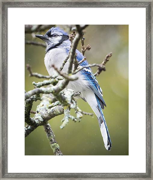 Blue Jay In The Rain Framed Print