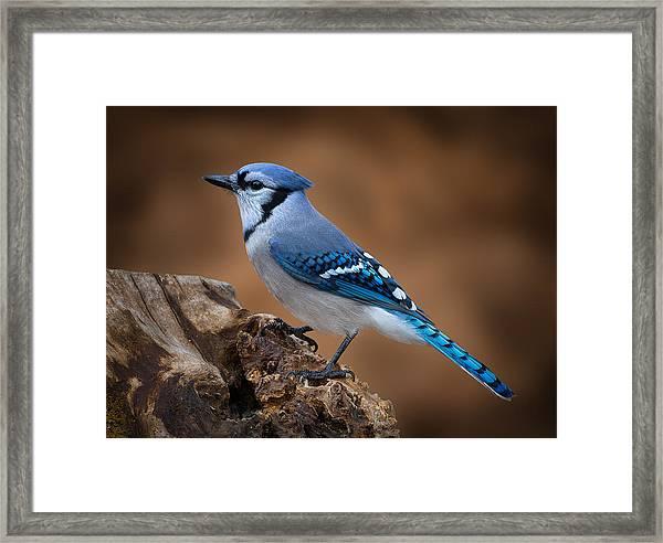 Blue Jay Framed Print by Steve Zimic