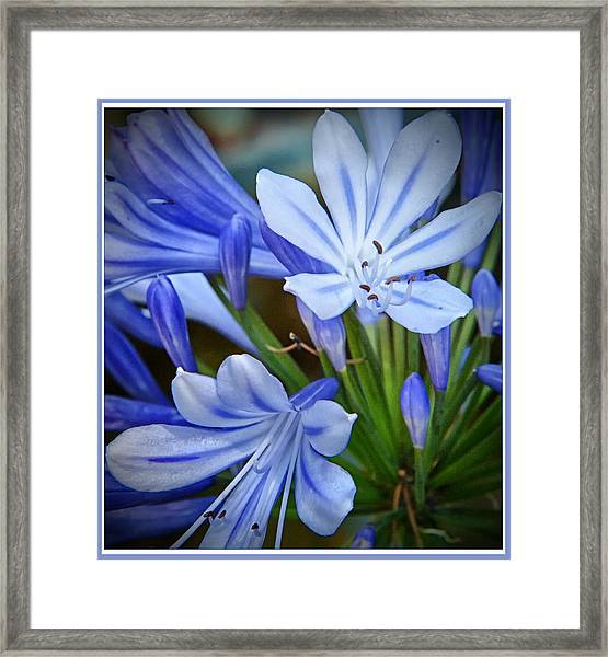 Blue Lilie Framed Print