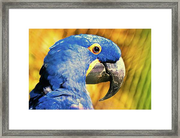 Blue Macaw Framed Print