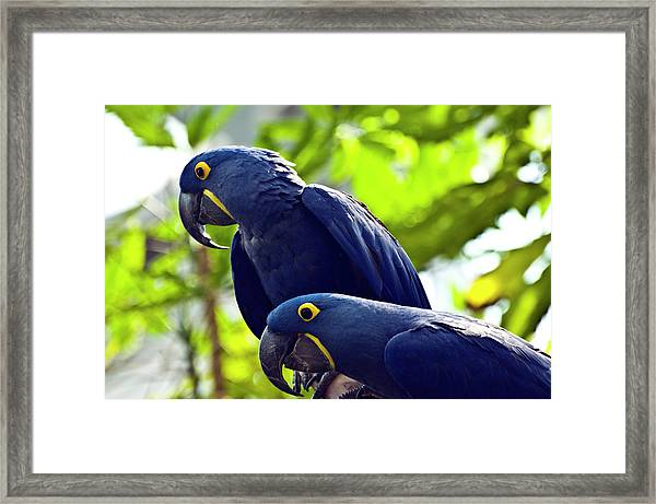 Blue Macaws Framed Print