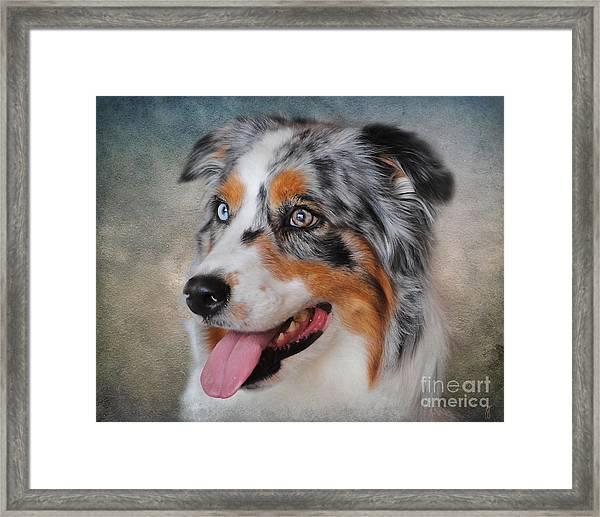 Blue Merle Australian Shepherd Framed Print
