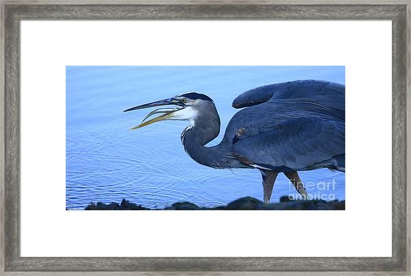 Blue Heron Gulp Framed Print