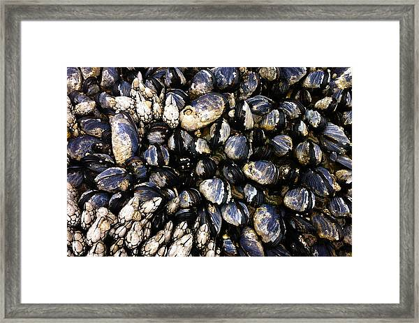 Blue Mussels Framed Print