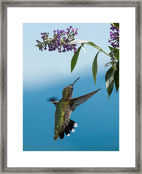 Blue Ridge Hummingbird Framed Print