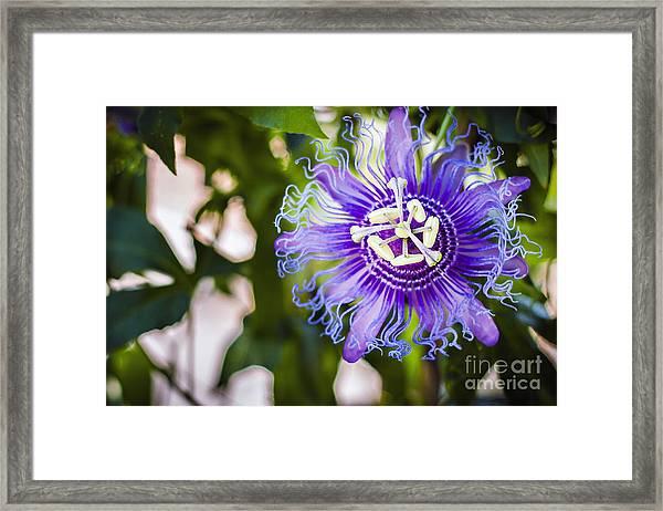 Blue Violet Framed Print by Lacie Oakey