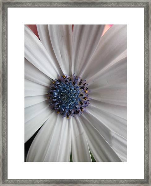Blue-white Loveliness Framed Print