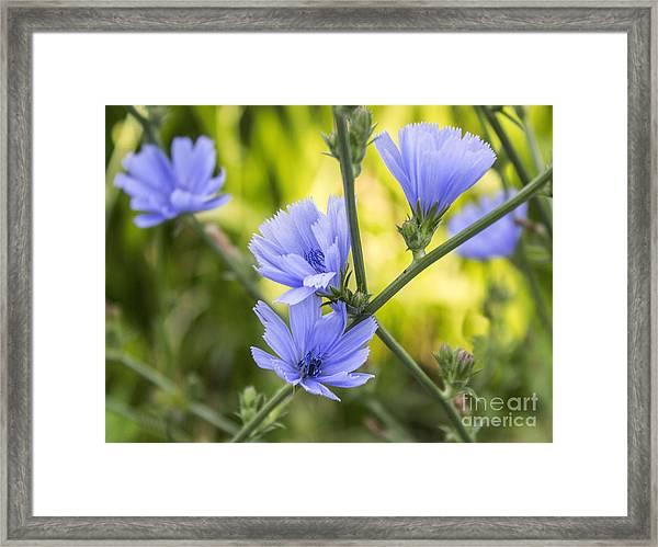 Blue Wildflwer Framed Print