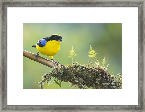 Blue-winged Mountain Tanager Framed Print