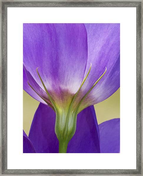 Bluebell Gentian Flower Framed Print