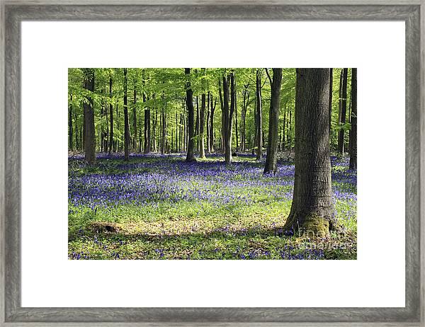 Bluebell Wood Uk Framed Print
