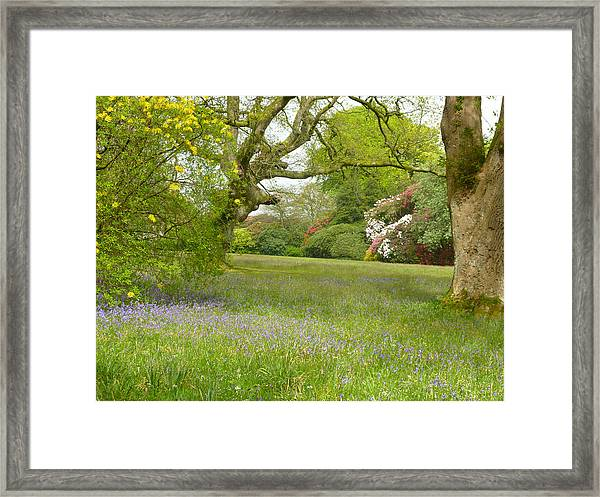 Bluebells And Rhododendrons Framed Print by Rob Sherwood