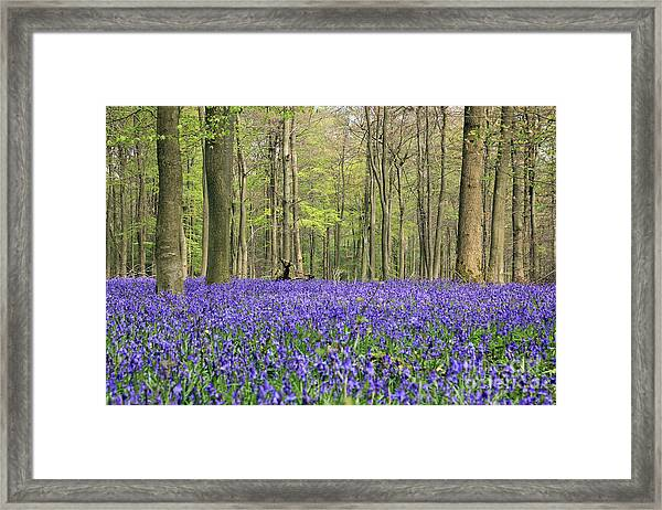 Bluebells Surrey England Uk Framed Print