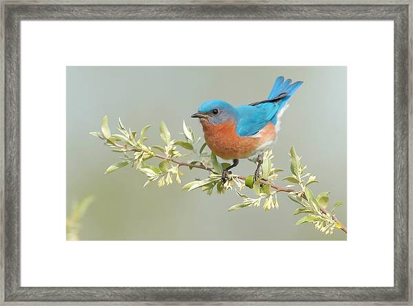Framed Print featuring the photograph Bluebird Floral by William Jobes