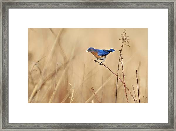 Framed Print featuring the photograph Bluebird Meadow by William Jobes