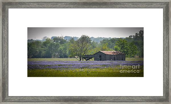Bluebonnets By The Barn Framed Print