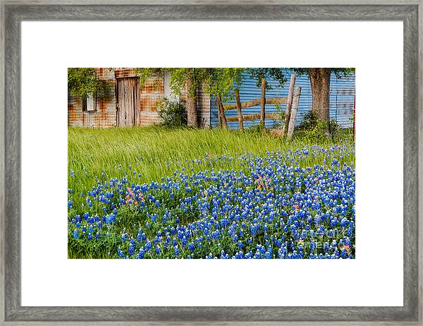 Bluebonnets Swaying Gently In The Wind - Brenham Texas Framed Print