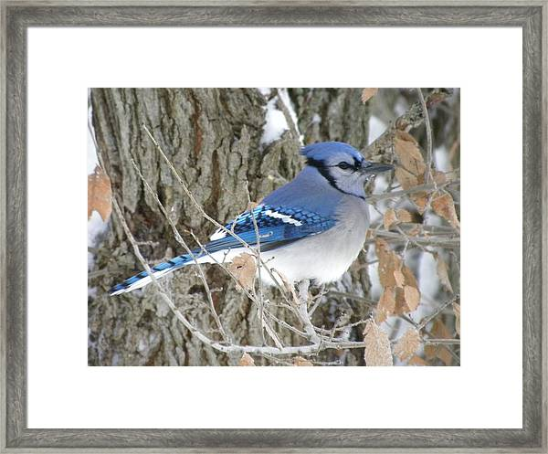 Bluejay Beauty Framed Print