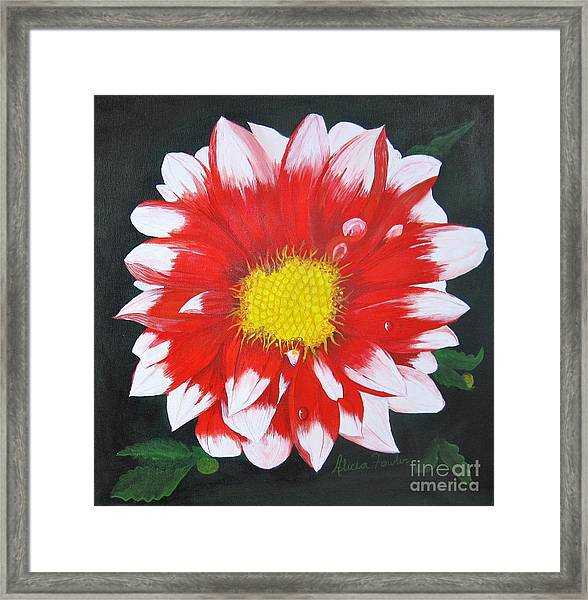 Blushing Dahlia Framed Print