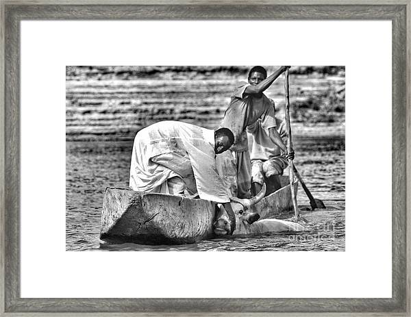 Boat And Cow  Framed Print